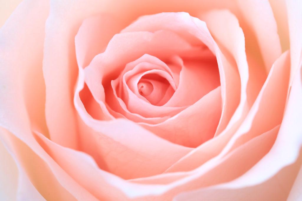 rose symbolisant la femme et la fertilité